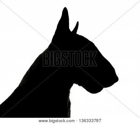 Bull Terrier Silhouette In A White Photo Studio