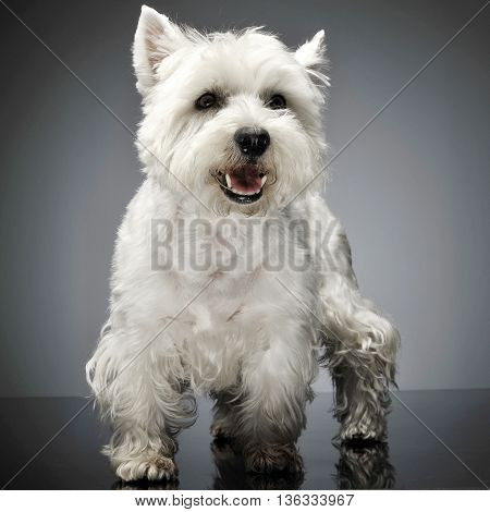West Highland White Terrier Standig In A Studio Table