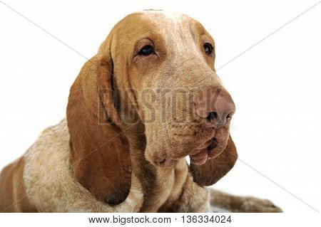 Bracco Italiano Portrait In A White Background