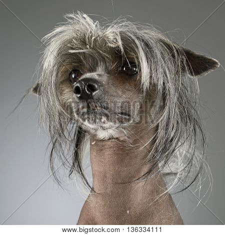 Chinese Crested Dog In A Gray Background Photo Studio