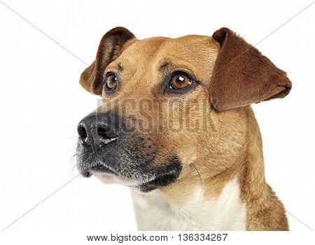 Mixed Breed Dog Portrait In A White Photo Studio
