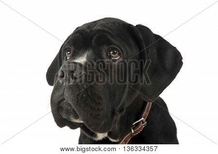 puppy black cane corso portrait in studio