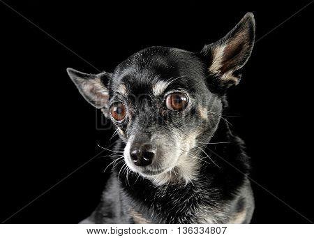 Black Cute Chihuahua In A Black Photo Studio