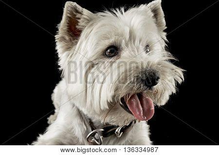 West Highland White Terrier Portraits In Studio
