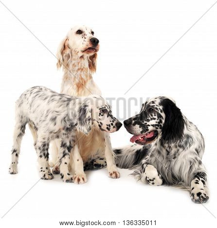 Three English Setters In A White Photo Background
