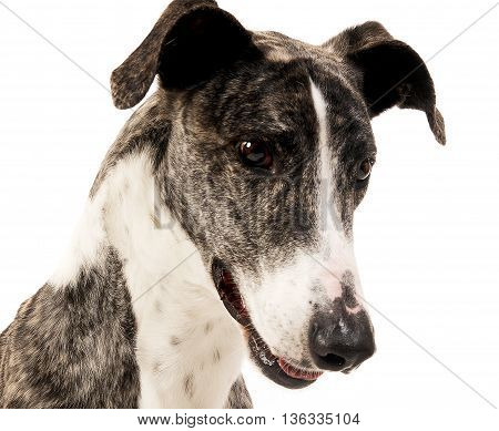 Hungarian Greyhound Portrait In A White Studio