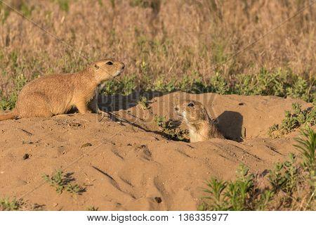 a pair of prairie dogs at a burrow
