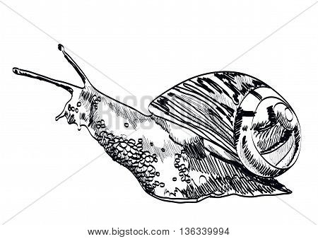 Hand drawn snail on white background. Vector illustration.
