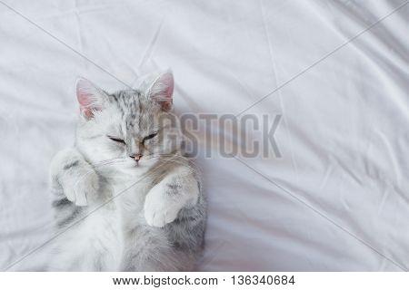 Cute American Shorthair kitten sleeping on white bed