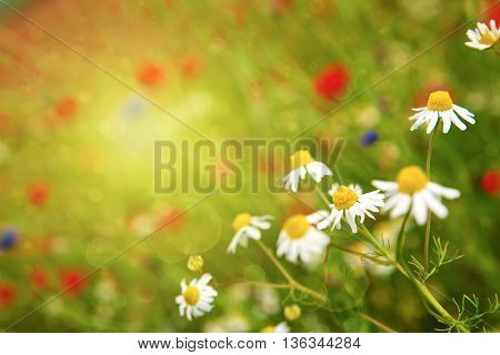 Daisy flowers background.Beautiful white daisies flowers isolated on green background.
