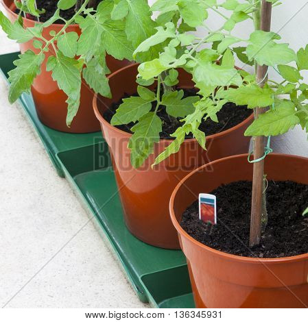 Tomato plants tied to canes in porch terracotta pots - with text / copy space.