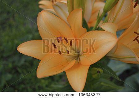 lilies bush grown in the flower garden
