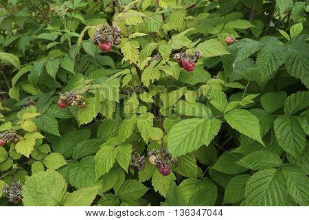 Ripe berries on the bush of raspberries