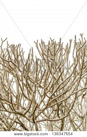 Dry tree small and large branches isolated on white background