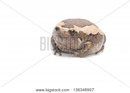 close-up  bullfrog big one on white background
