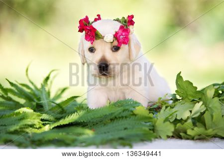 adorable yellow labrador retriever puppy outdoors in summer