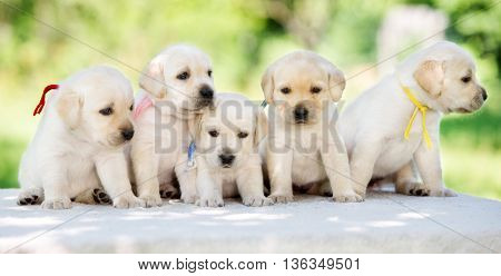 group of yellow labrador puppies posing outdoors