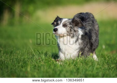 beautiful border collie dog bows down outdoors