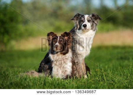 two border collie dogs outdoors together in summer