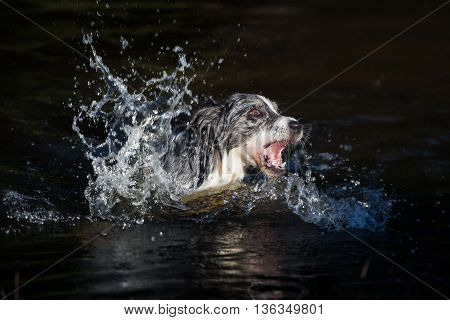 border collie dog swimming in a lake