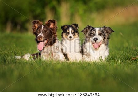 border collie dogs with adorable sheltie puppy