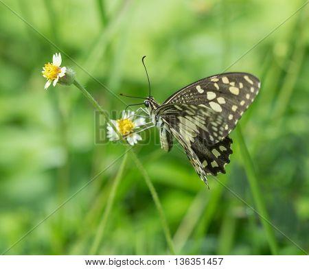 Black-veined Sergeant Butterfly (athyma Ranga) On Flower