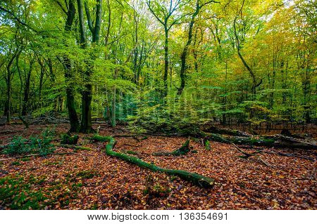 An early autumn forest scenery with fallen leaves from a forest in Netherlands