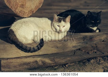White and black cats on the wooden floor
