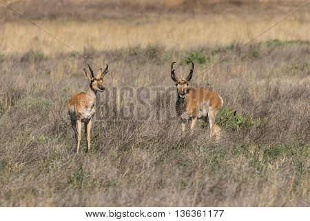 pronghorn antelope bucks on the arizona prairie