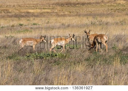 pronghorn antelope bucks on the arizona prairie