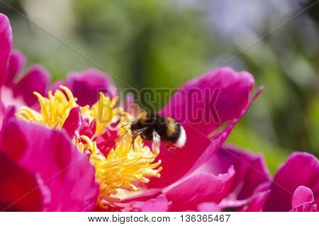 a bumble bee approaching a blossoming peaony