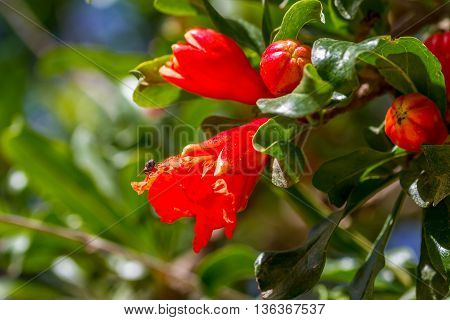 Flora of Israel, blooming pomegranate tree, flowers on a background of green leaves. Close-up, selected focus