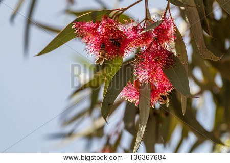 Red furry flowers of eucalyptus, flowering trees of Israel. Close-up, selected focus