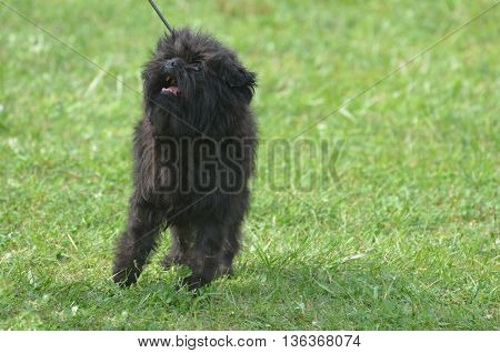 Cute small affenpinscher dog breed on a leash.