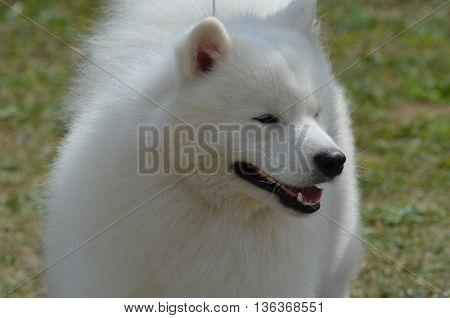 Beautiful fluffy white American Eskimo dog. on grass
