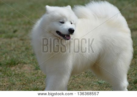 While American Eskimo dogs are companion dogs they are also well known circus performers.