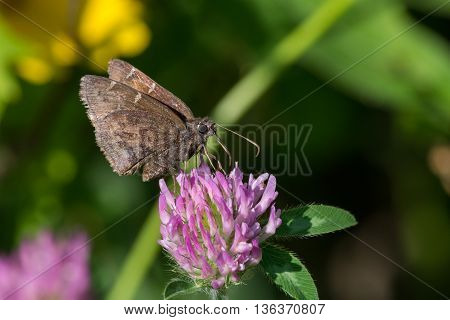 Northern Cloudywing Butterfly feeding on nectar from a clover plant.