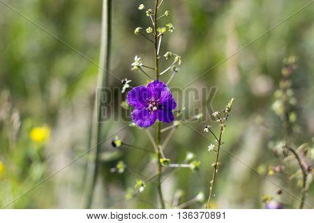 violet field floret on a summer green field