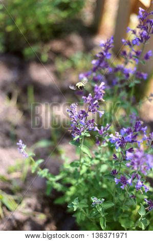 Bumblebee Pollinating Purple Flowers Of Catmint
