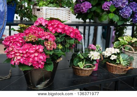 Colorful hydrangea flowers in the pot in spring and summer.