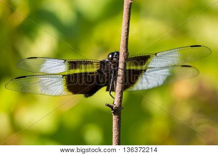 Widow Skimmer Dragonfly perched on a plant in a prairie.