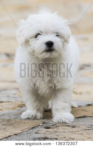 Solanas (CA) - maltese dog puppy posing in the backyard - Sardinia
