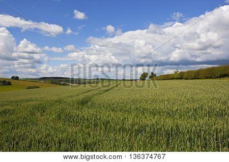 Ripening Wheat Field In Summer