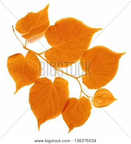 Autumn Tilia Leafs On White Background