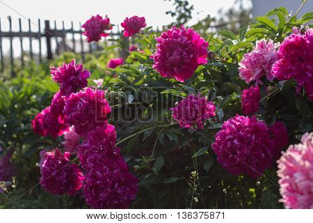 Blooming peony, burgundy and pink flowers in the garden