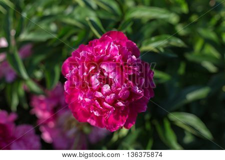 Blooming peony, burgundy color on a green background