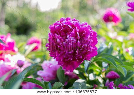 Blooming peony, pink and burgundy. Season pions