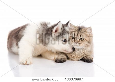 Cute siberian husky puppy kissing cute kitten on white background isolated
