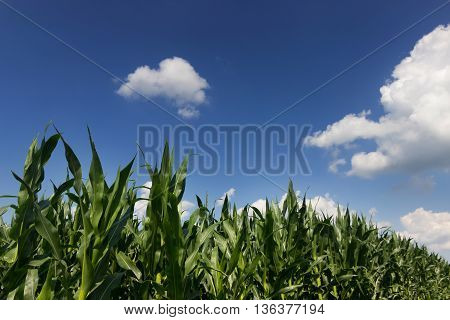 Green corn field, blue sky on summer day. Corn Field. Green field with young corn.