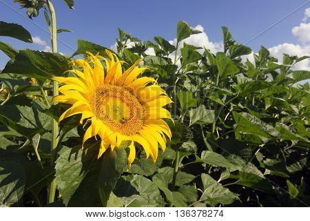 Sunflower and bees. Sunflower, Sunflower blooming, Sunflower field